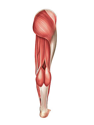 Muscles Of The Leg Print by Asklepios Medical Atlas