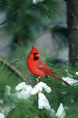 Northern Cardinal Photograph - Northern Cardinal (cardinalis Cardinalis by Richard and Susan Day