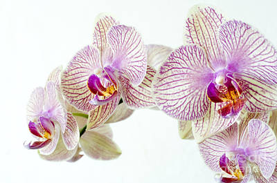 Orchids Photograph - Phalaenopsis Orchid Phalaenopsis Sp by Lawrence Lawry
