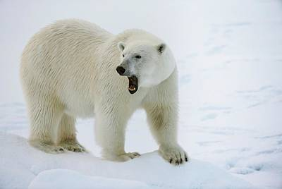 Bear Photograph - Polar Bear Standing On A Ice Floe by Peter J. Raymond