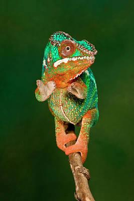 Chameleon Photograph - Rainbow Panther Chameleon, Fucifer by David Northcott