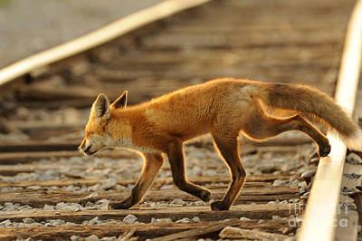 Fox Photograph - Red Fox by Scott Linstead