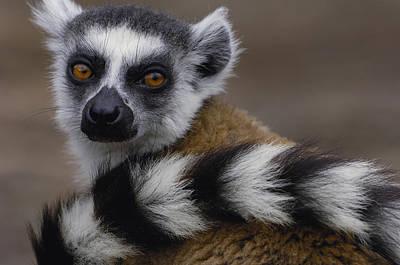 Lemur Tail Photograph - Ring-tailed Lemur Portrait Madagascar by Pete Oxford