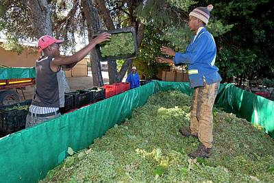 Seasonal Workers Harvesting Grapes Print by Tony Camacho