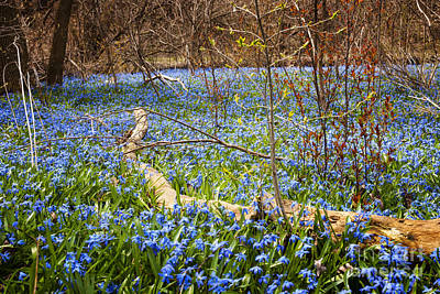 March Photograph - Spring Blue Flowers Wood Squill by Elena Elisseeva