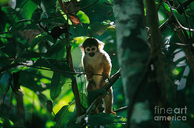 Squirrel Monkey Print by Gregory G. Dimijian, M.D.