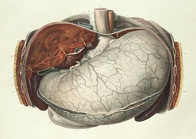 1839 Photograph - Stomach And Liver by Science Photo Library