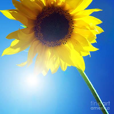 Detail Photograph - Sunflower by Michal Bednarek