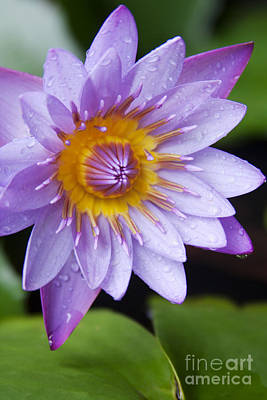Inspirational Photograph - The Lotus Flower by Sharon Mau