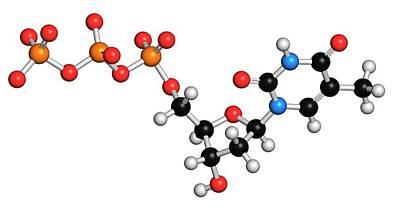 Deoxyribonucleic Acid Photograph - Thymidine Triphosphate Molecule by Molekuul