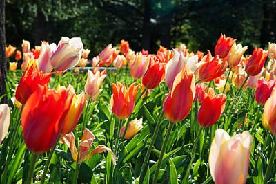 Tulips At Sherwood Gardens, Baltimore Print by Panoramic Images