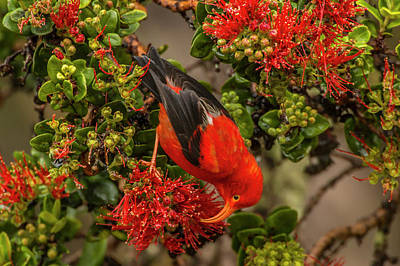 Usa, Hawaii, Hakalau Forest National Print by Jaynes Gallery