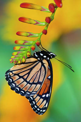 Crocosmia Photograph - Viceroy Butterfly That Mimics by Darrell Gulin