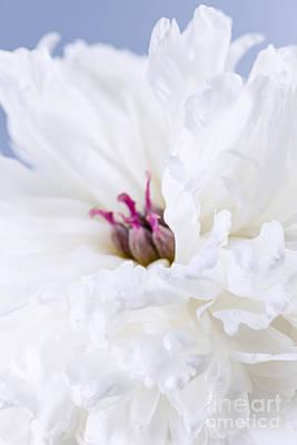 White Flower Photograph - White Peony Flower by Elena Elisseeva