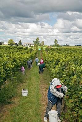 Grapevines Photograph - Wine Grape Harvest by Jim West