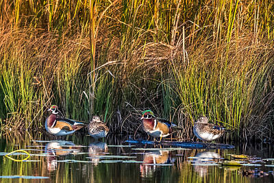 4 Wood Ducks Print by Paul Freidlund