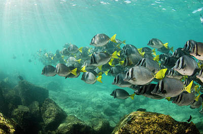 Yellowtail Surgeonfish (prionurus Print by Pete Oxford