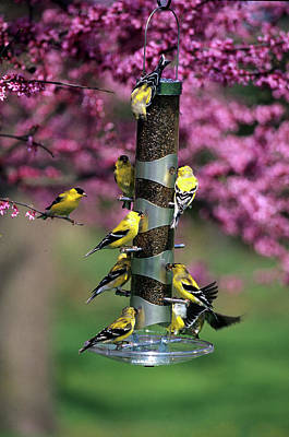 Redbud Photograph - American Goldfinches (carduelis Tristis by Richard and Susan Day