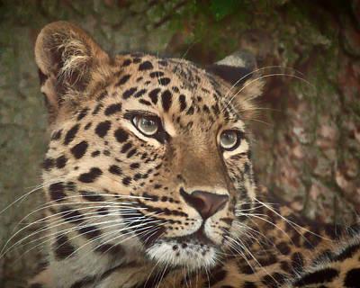 Leopard Photograph - Amur Leopard by Chris Boulton