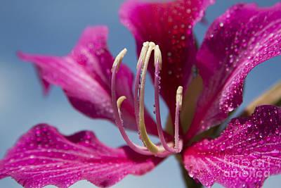 Bauhinia Purpurea - Hawaiian Orchid Tree Print by Sharon Mau
