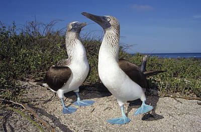 Blue-footed Boobies Courting Galapagos Print by Tui De Roy