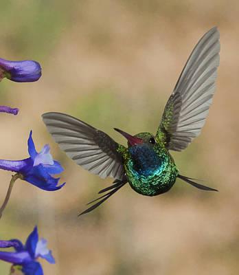 Digital Photograph - Broadbill Hummingbird by Gregory Scott