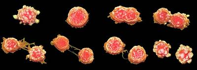 Cancer Photograph - Cancer Cell Division by Steve Gschmeissner