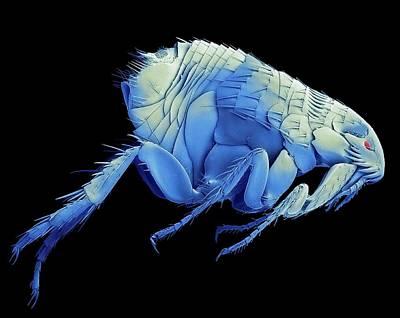 Cat Flea. Sem Print by Steve Gschmeissner