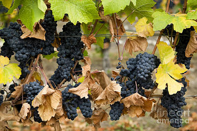 Beaujolais Photograph - Gamay Noir Grapes by Kevin Miller