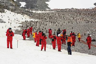 Penguin Photograph - Gentoo Penguins by Ashley Cooper