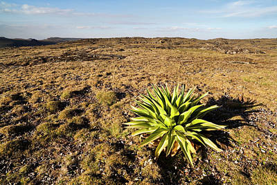 Lobelia Photograph - Giant Loebelia (lobelia Rhynchopetalum by Martin Zwick
