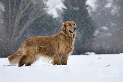 Golden Retriever In Snow Print by Johan De Meester