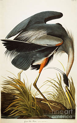 Heron Drawing - Great Blue Heron by Celestial Images