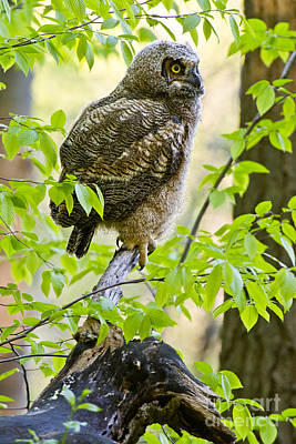 Great Horned Owlet Print by Michael Cummings