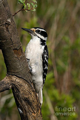 Picoides Villosus Photograph - Hairy Woodpecker by Linda Freshwaters Arndt