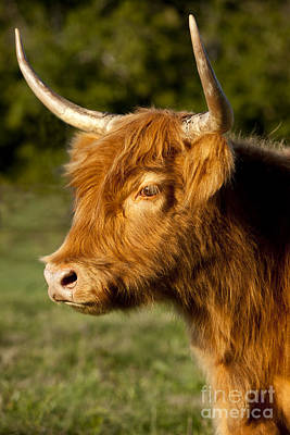 Highland Cow Print by Brian Jannsen
