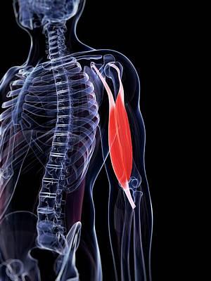 Human Biceps Print by Sebastian Kaulitzki