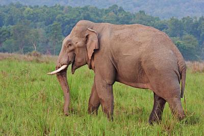 Indian Asian Elephant (tusker Print by Jagdeep Rajput