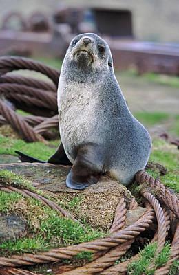Junk Photograph - Kerguelen Fur Seal, Antarctic Fur Seal by Martin Zwick