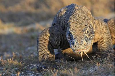 Indonesian Wildlife Photograph - Komodo Dragon by M. Watson
