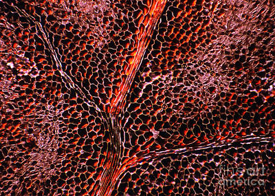 Light Micrograph Of Leaf Anatomy Print by Dr Keith Wheeler