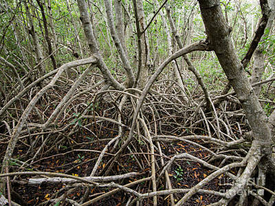 Mangrove Roots Print by Tracy Knauer