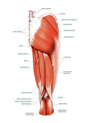 Muscles Of The Thigh Print by Asklepios Medical Atlas