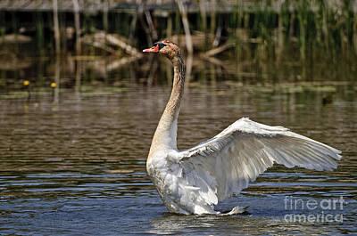 Swan Photograph - Mute Swan by Michael Cummings