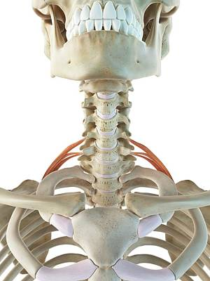 Neck Muscles Print by Sciepro