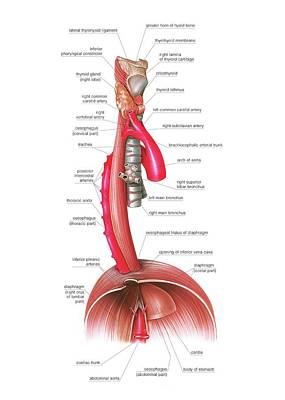 Oesophagus Print by Asklepios Medical Atlas