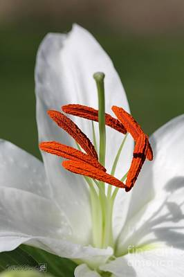 Flower Express Photograph - Oriental Lily Named White Express by J McCombie