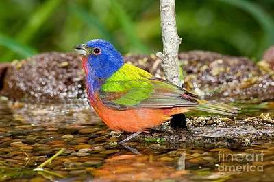 Bunting Photograph - Painted Bunting by Anthony Mercieca
