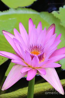 Lilies Photograph - Pink Water Lily by Carol Groenen