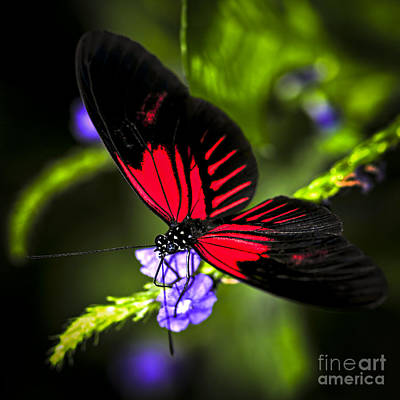 Antenna Photograph - Red Heliconius Dora Butterfly by Elena Elisseeva